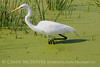 Great Egret in Duckweed
