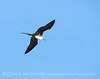 Magnificent Frigatebird, Progreso Mexico (2)