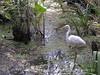 American Egret, Corkscrew Swamp FL (1)