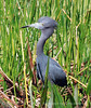 Little Blue Heron on Alert copy
