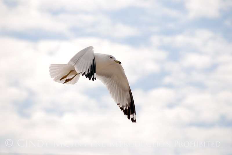 Ring-billed gull, FL