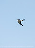 Swallow-tailed Kite, S  Florida (4)