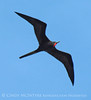 Magnificent Frigatebird, Progreso Mexico (4) copy
