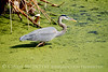 GBlue Heron stalking 2