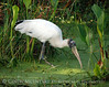 Wood Stork in Duckweed copy