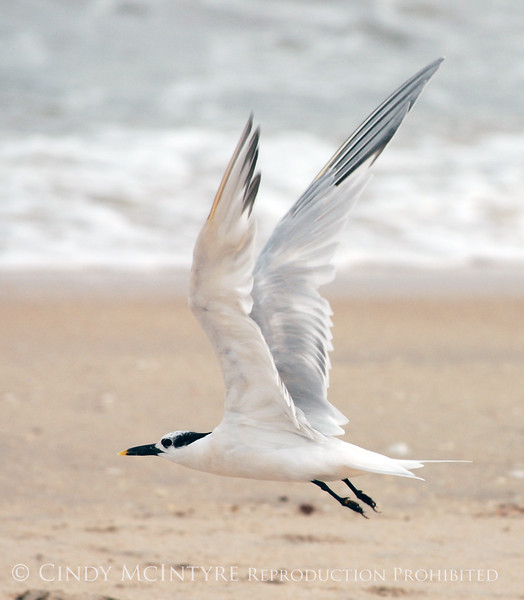 Sandwich Tern in Flight, FL