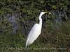 American Egret, Wakodahatchee FL (1)
