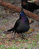 Grackle Boat-tailed displaying