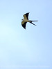 Swallow-tailed Kite, S  Florida (15)