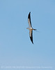 Swallow-tailed Kite, S  Florida (2)
