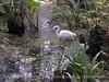 American Egret, Corkscrew Swamp FL