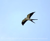 Swallow-tailed Kite, S  Florida (14)
