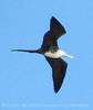 Magnificent Frigatebird, Progreso Mexico (3) copy