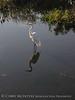 American Egret, Wakodahatchee FL (4)