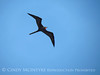 Magnificent Frigatebird, Progreso Mexico (4)