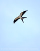Swallow-tailed Kite, S  Florida (11)