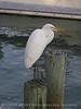 American Egret, Wakodahatchee FL (2)