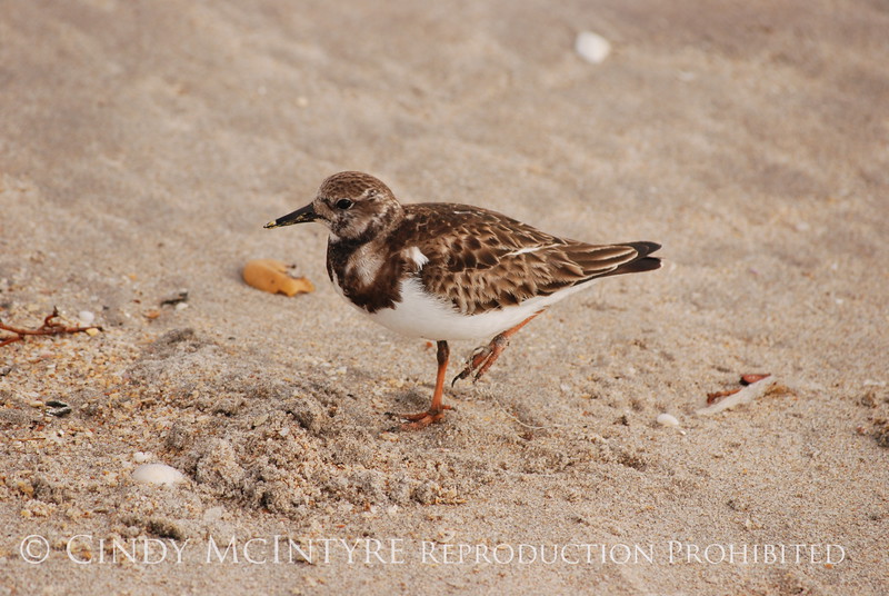 Ruddy Turnstone, FL (11)