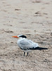 Royal Tern, FL (2)