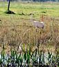 Whooping Crane, Lk Kissimmee Florida (3)
