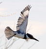 Belted Kingfisher Male in Flight copy