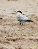 Royal Terns, FL (1)