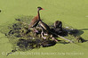 4 black bellied ducks 2205 copy