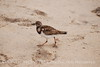 Ruddy Turnstone, FL (8)