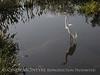 American Egret, Wakodahatchee FL (3)