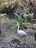 American Egret, Corkscrew Swamp FL (2)