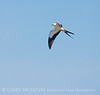 Swallow-tailed Kite, S  Florida (1)