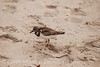 Ruddy Turnstone, FL (6)