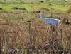 Whooping Crane, Lk Kissimmee Florida (4)