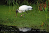 Wood Stork in Duckweed 2