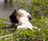 Anhinga babies feeding, Wacky FL (5)