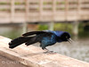 Male boat-tailed grackle FL  (1)