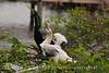 Anhinga babies feeding, Wacky FL (10)