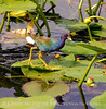 Purple Gallinule, FL (2)