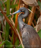 Tricolor Heron breeding colors, Wacky FL (10)