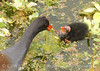 Common Gallinule wChick, Green Cay FL (1)