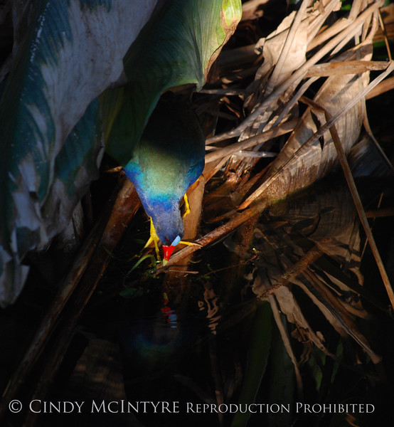 Purple Gallinule in Dark Plants
