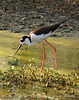 Black-necked stilt, Green Cay FL  (3)