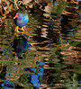 Purple Gallinule and Reflections 3