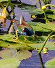 Purple Gallinule, FL (1)