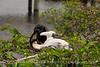 Anhinga babies feeding, Wacky FL (6)