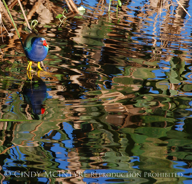 Purple Gallinule and Reflections 1