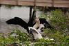 Anhinga babies feeding, Wacky FL (12)