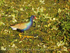 Purple Gallinule, Green Cay FL (2)