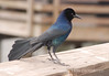 Male boat-tailed grackle FL 1 (2)