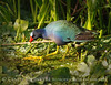 Purple Gallinule, Green Cay FL (1)